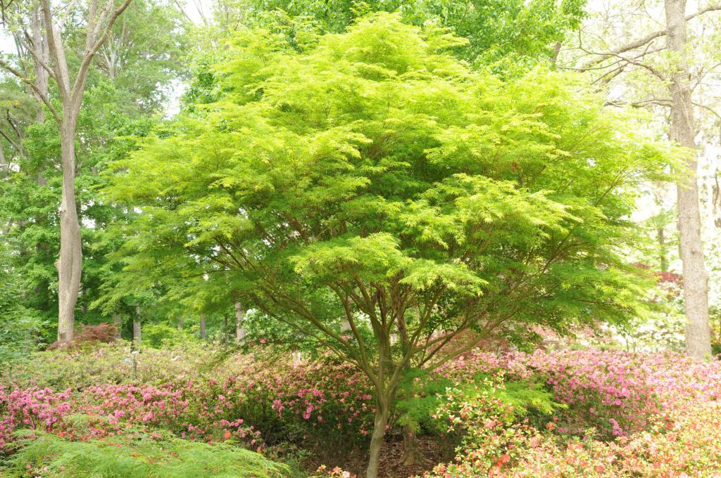 Acer Palmatum Var Dissectum Seiryu Wholesale Nursery