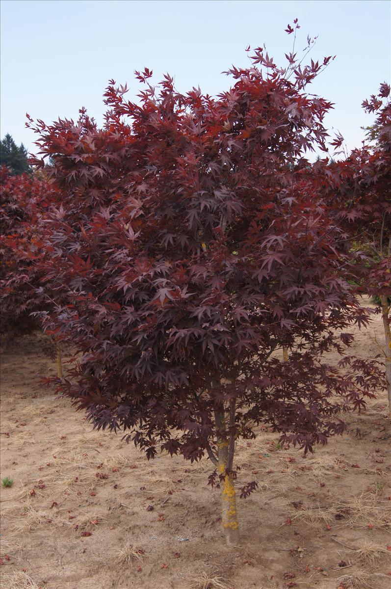 acer palmatum 39 bloodgood 39 wholesale nursery supplies plant growers in oregon nursery guide. Black Bedroom Furniture Sets. Home Design Ideas