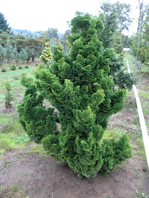 chamaecyparis obtusa 39 nana gracilis 39 wholesale nursery supplies plant growers in oregon. Black Bedroom Furniture Sets. Home Design Ideas