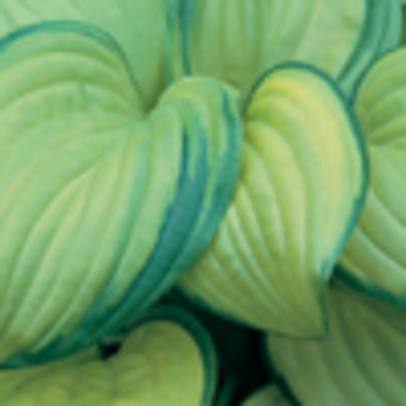 Hosta 'Stained Glass'