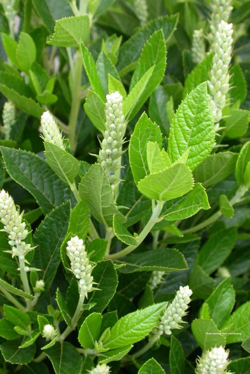 Clethra Alnifolia Sugartina Clethra Alnifolia 'sixteen
