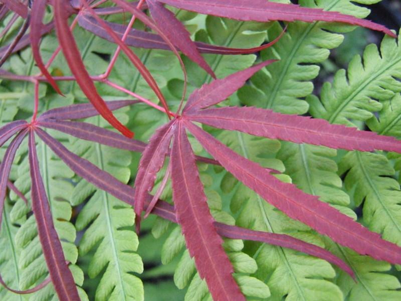 Acer Palmatum Atrolineare Wholesale Nursery Supplies Plant