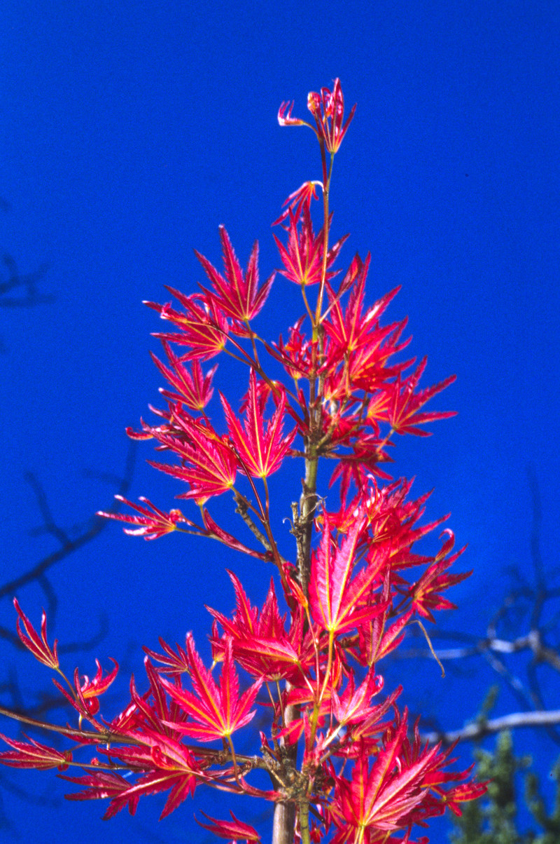 Acer Palmatum Bonfire Wholesale Nursery Supplies Plant Growers