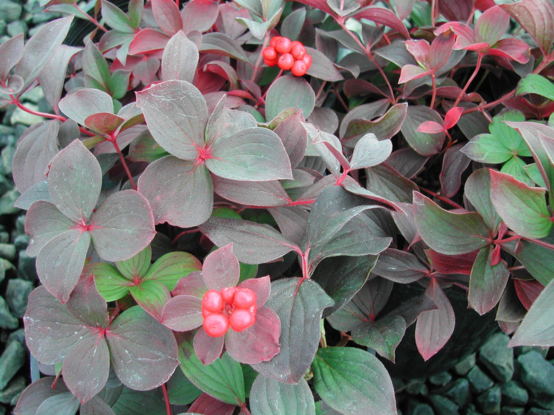 Find plants page 9 wholesale nursery supplies plant growers cornus canadensis sciox Image collections