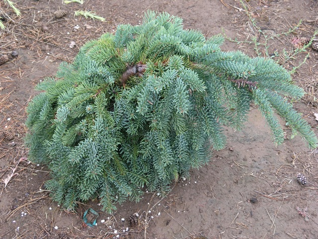 Abies procera 'La Graciosa'
