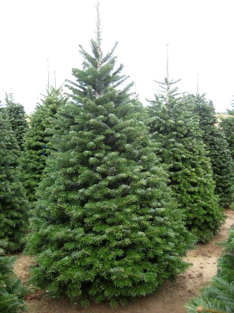 Abies nordmanniana Abies nordmanniana. Nordmann Fir Christmas Trees - Find Plants - Page 2 Wholesale Nursery Supplies & Plant Growers In