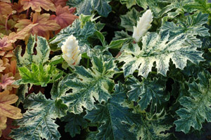 Acanthus mollis 'Whitewater' PPAF PVR