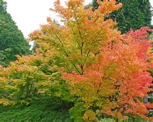 Acer Palmatum Sango Kaku Whole Nursery Supplies Plant Growers In Oregon Guide