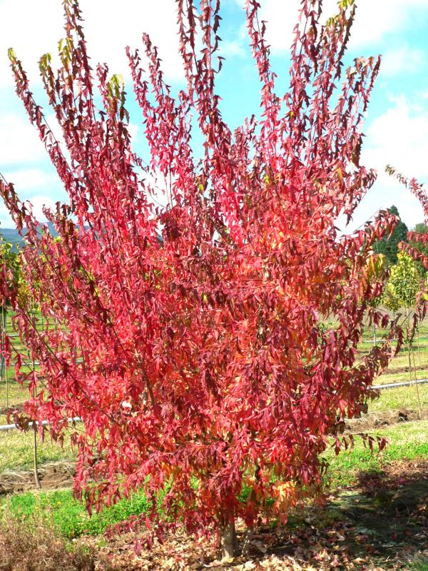 Acer Ginnala Flame Wholesale Nursery Supplies Plant Growers In