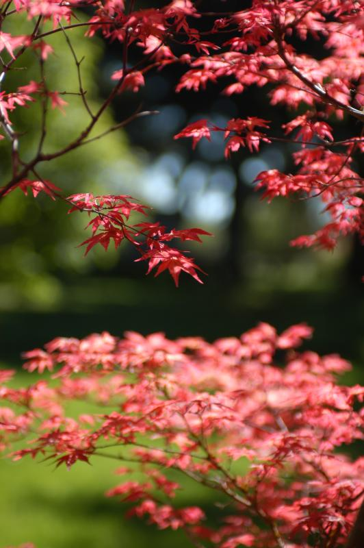 Acer palmatum 'Chishio Improved'