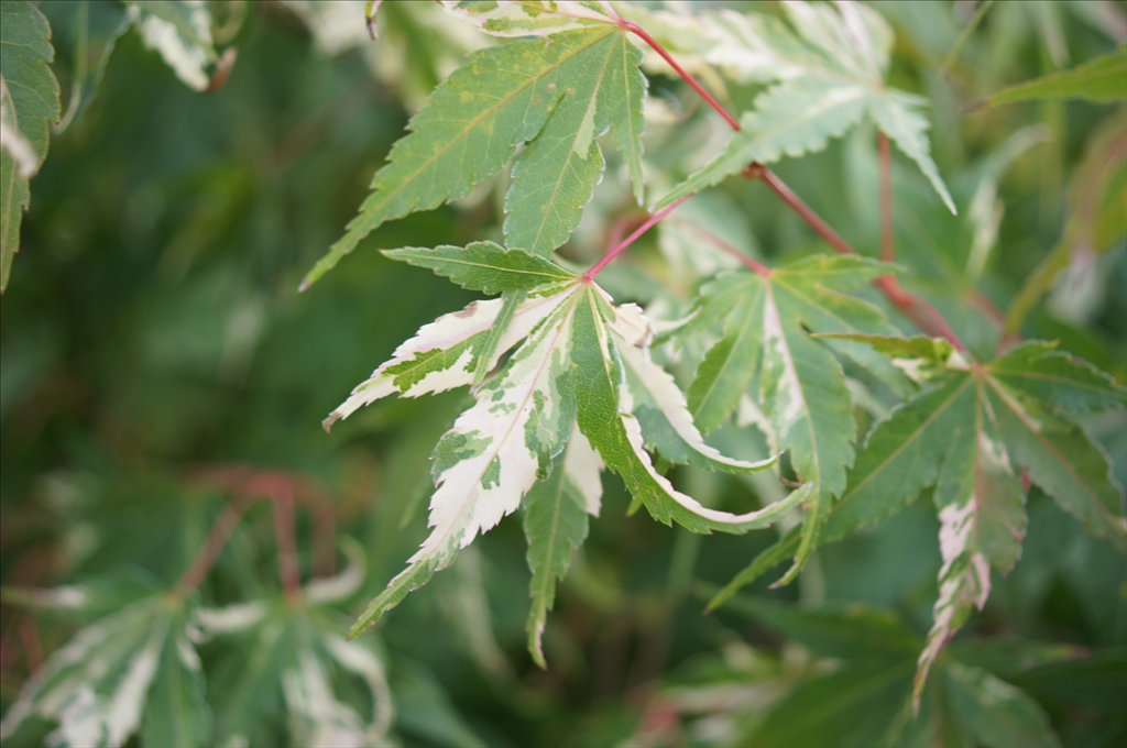 Acer Palmatum Asahi Zuru Wholesale Nursery Supplies Plant