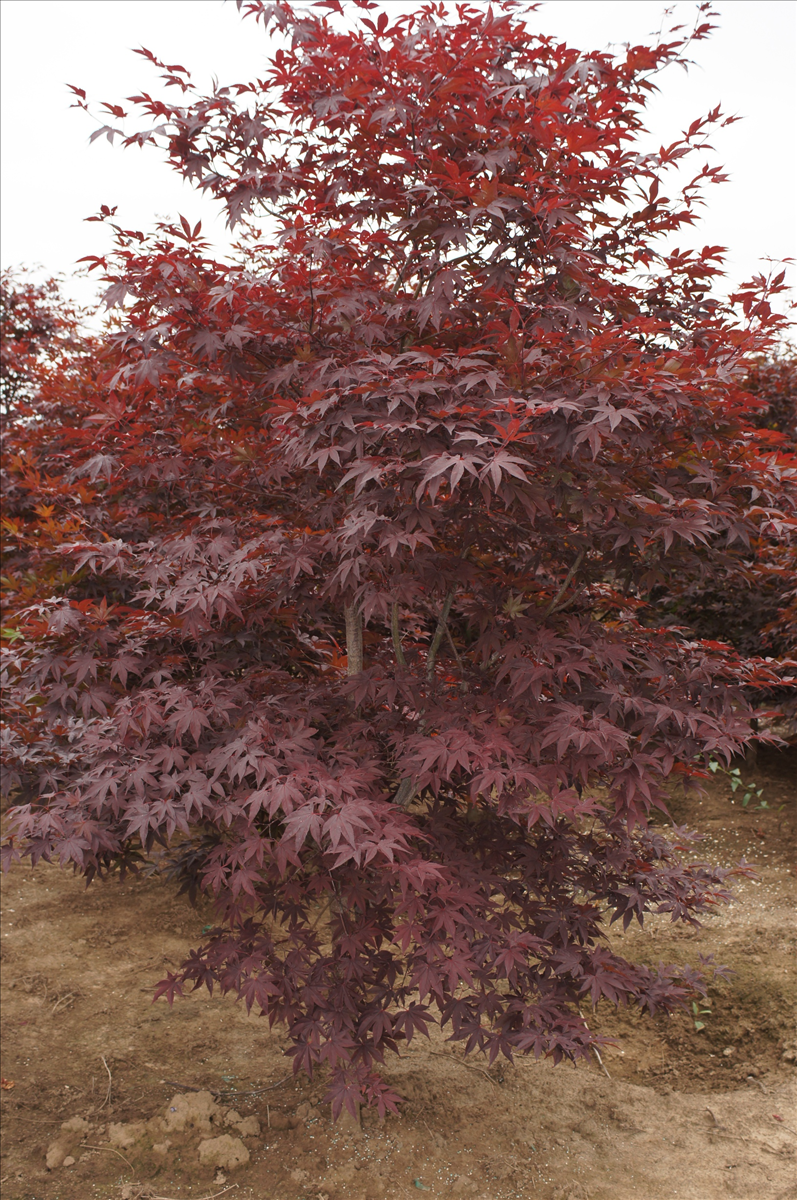 Acer Palmatum Wolff Wholesale Nursery Supplies Plant Growers