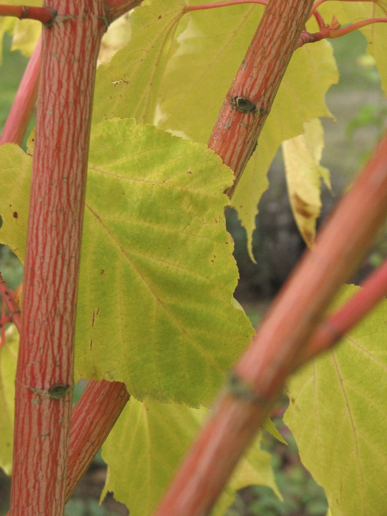 Acer Conuum Phoenix Whole Nursery Supplies Plant Growers In Oregon Guide