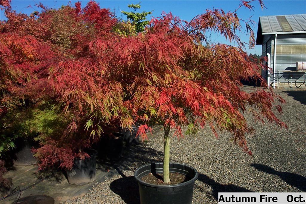 Acer Palmatum Var Dissectum Autumn Fire Wholesale Nursery