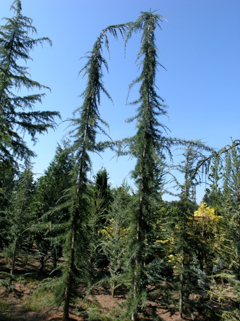 Cedrus Libani Glauca Pendula Whole Nursery Supplies Plant Growers In Oregon Guide