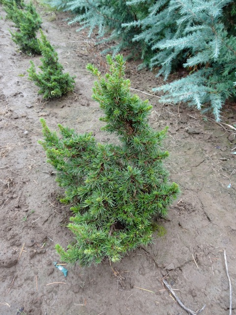 Cedrus libani 'Green Knight'