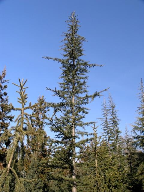 Cedrus Libani Stenocoma Whole Nursery Supplies Plant Growers In Oregon Guide