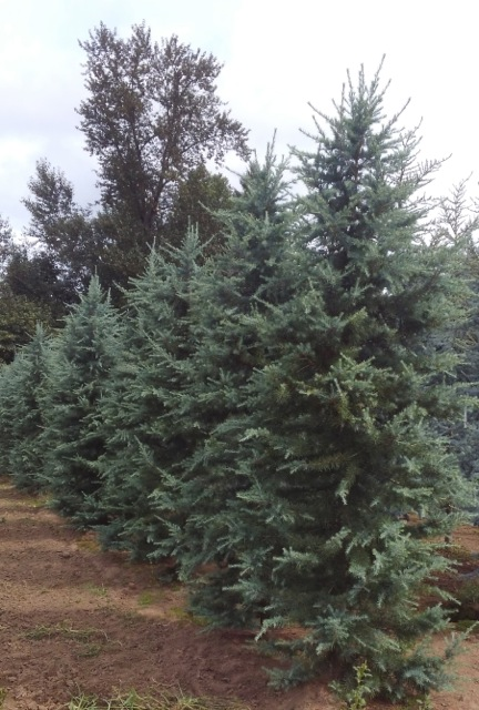 Cedrus deodara 'Dark Blue Angel'