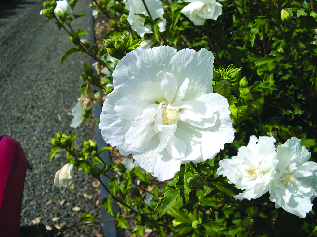 Hibiscus Syriacus Notwoodtwo Wholesale Nursery Supplies Plant