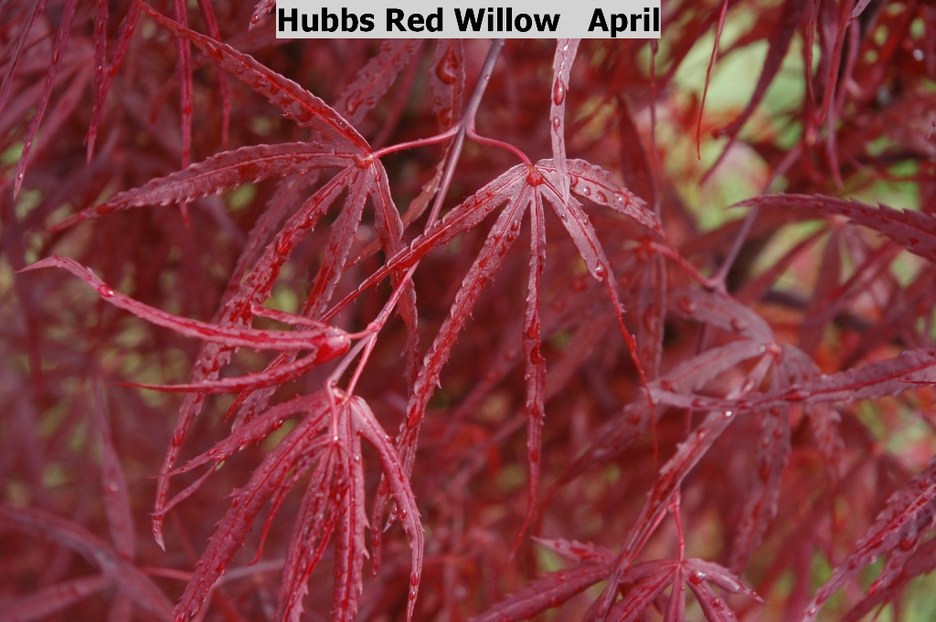 Acer palmatum 'Hubb's Red Willow'