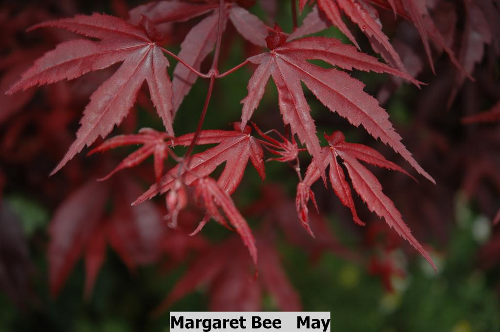 Acer Palmatum Margaret Bee Wholesale Nursery Supplies Plant