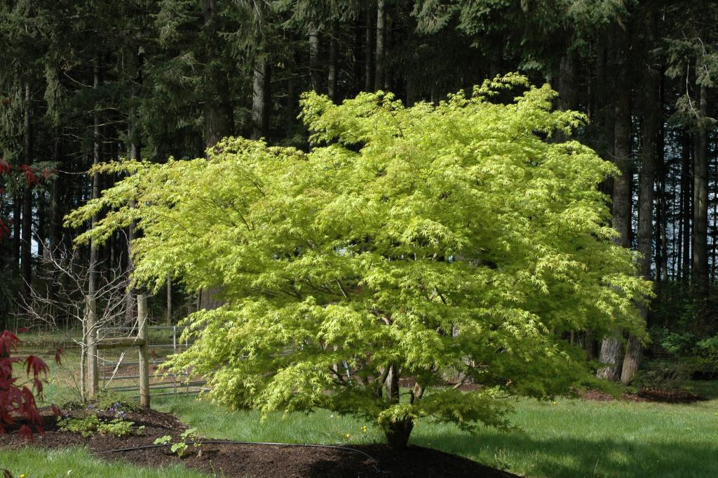 Acer Palmatum Nishiki Gawa Wholesale Nursery Supplies Plant