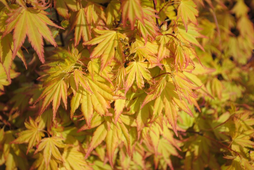 Acer palmatum var. dissectum 'Orange Dream'
