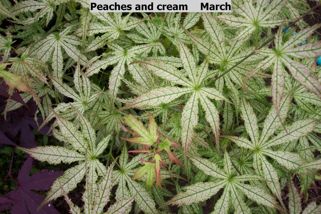Acer palmatum 'Peaches and Cream'
