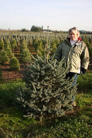 Picea abies 'Paul's Select'
