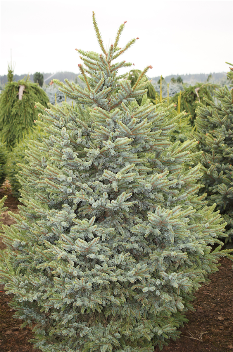 Picea bicolor 'Howell's Dwarf'