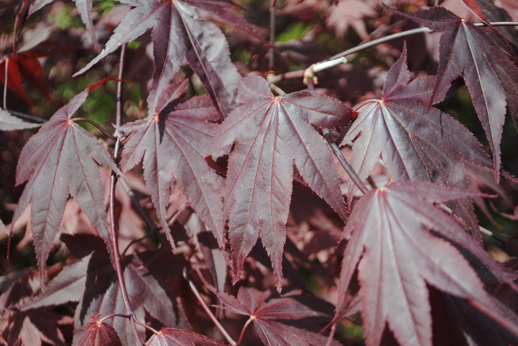Acer palmatum 'Ruth's Red'