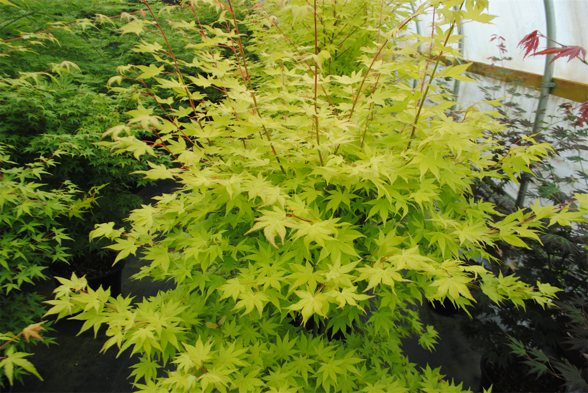 Acer Palmatum Summer Gold Wholesale Nursery Supplies Plant