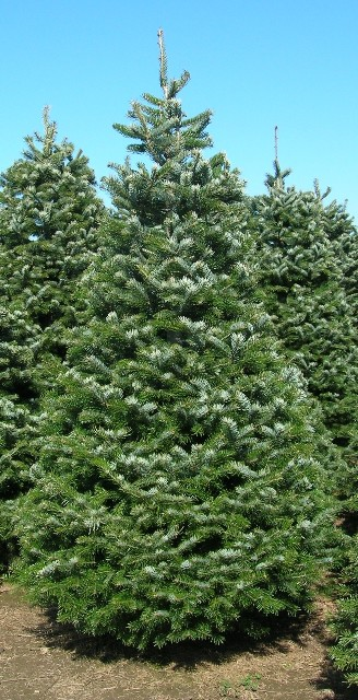 Abies bornmuelleriana - Find Plants Wholesale Nursery Supplies & Plant Growers In Oregon