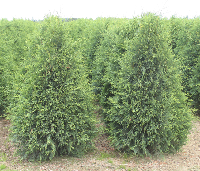 Thuja occidentalis 'Techny'