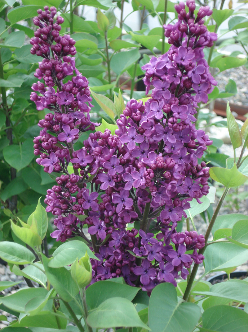 find plants page 27 wholesale nursery supplies plant growers in oregon nursery guide. Black Bedroom Furniture Sets. Home Design Ideas