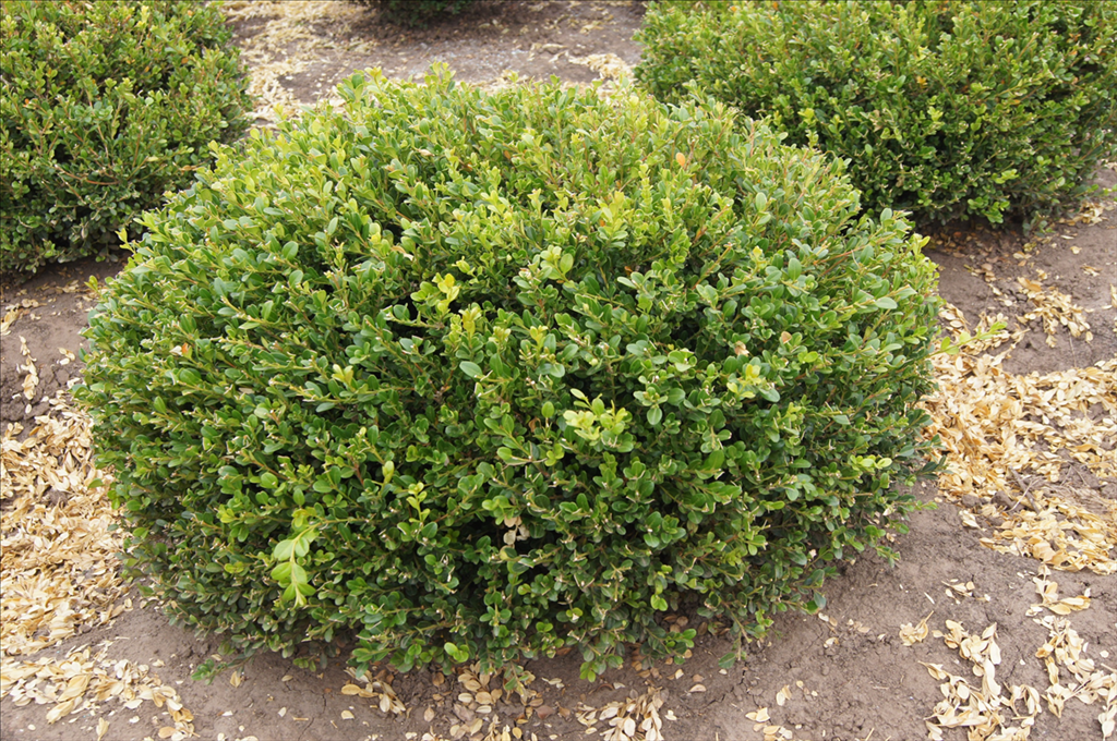 Keep the Buxus microphylla var japonica morris midget You are