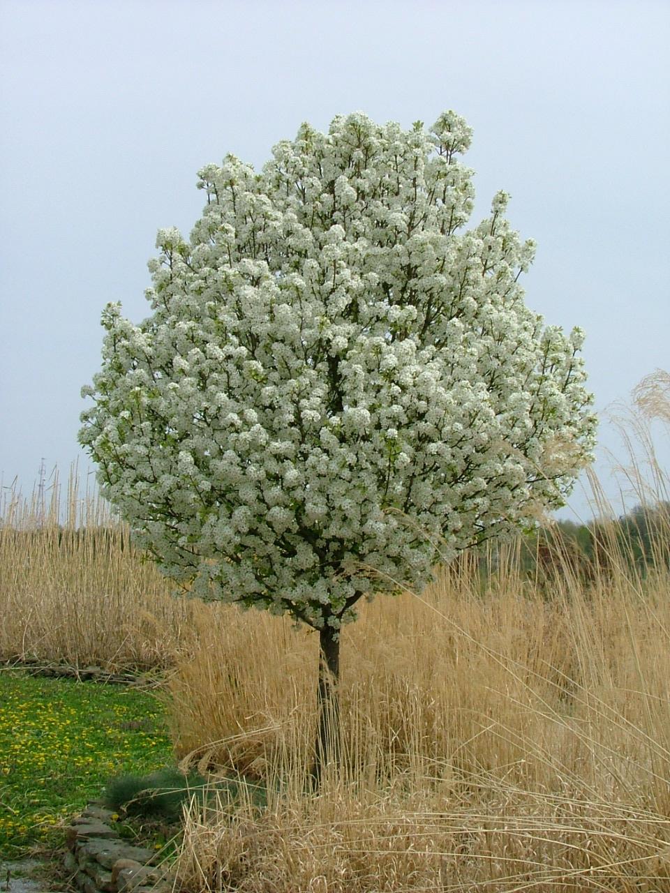 Find plants page 28 wholesale nursery supplies plant for Dwarf flowering trees