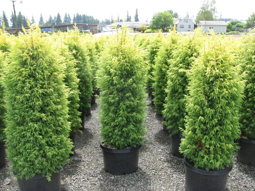 Juniperus commu...