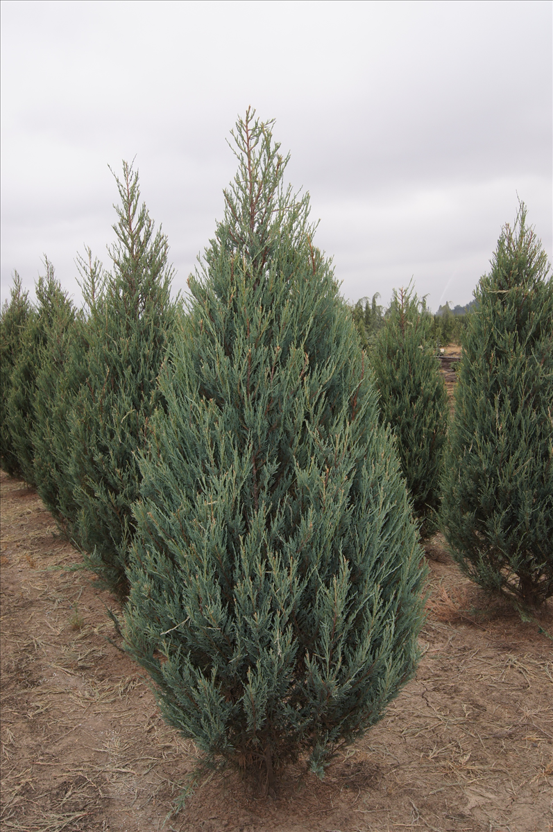 Find plants page 10 wholesale nursery supplies plant for The juniper