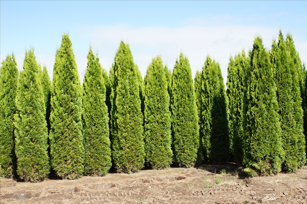 thuja occidentalis 39 smaragd 39 wholesale nursery supplies plant growers in oregon nursery guide. Black Bedroom Furniture Sets. Home Design Ideas