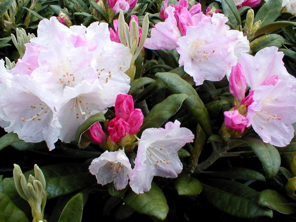 rhododendron yakushimanum wholesale nursery supplies. Black Bedroom Furniture Sets. Home Design Ideas