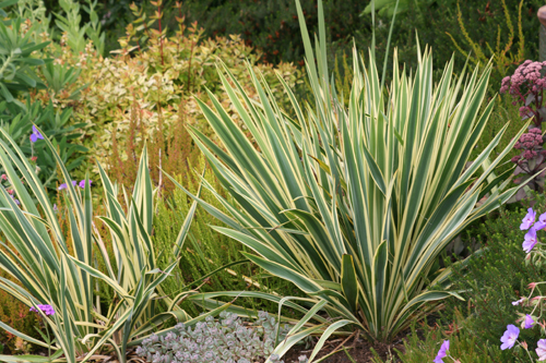 yucca filamentosa 39 bright edge 39 wholesale nursery supplies plant growers in oregon nursery. Black Bedroom Furniture Sets. Home Design Ideas
