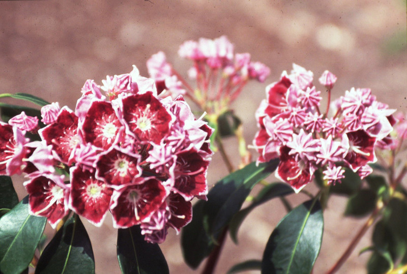 Kalmia latifolia 'Keepsake'