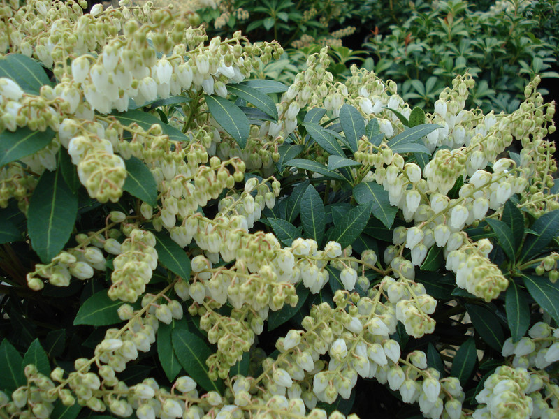Pieris japonica 'Cavatine'