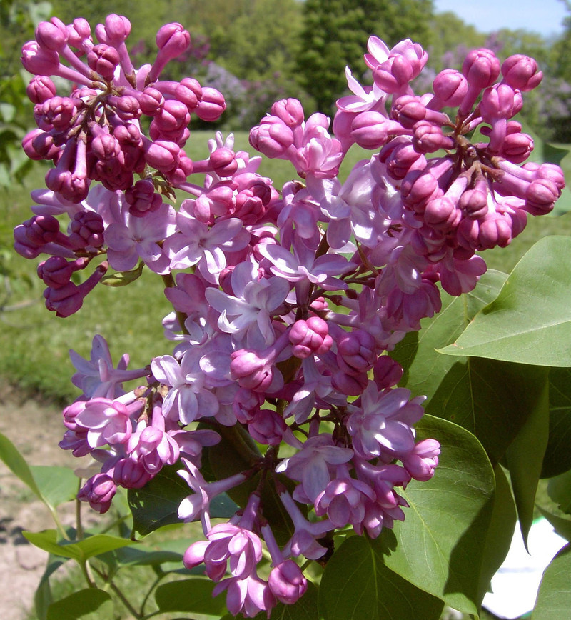 Syringa vulgaris 'Belle de Nancy'