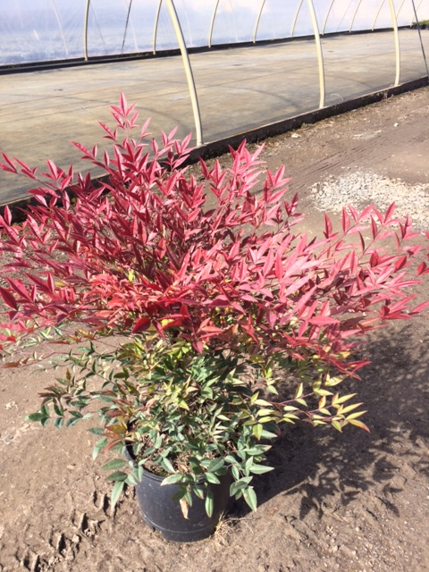 Nandina domestica 'Moyer's Red'