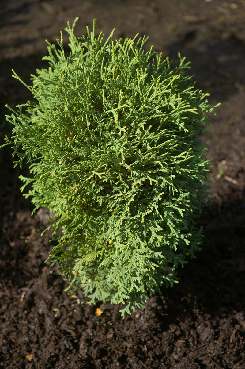 Thuja occidentalis 'Hetz Midget'