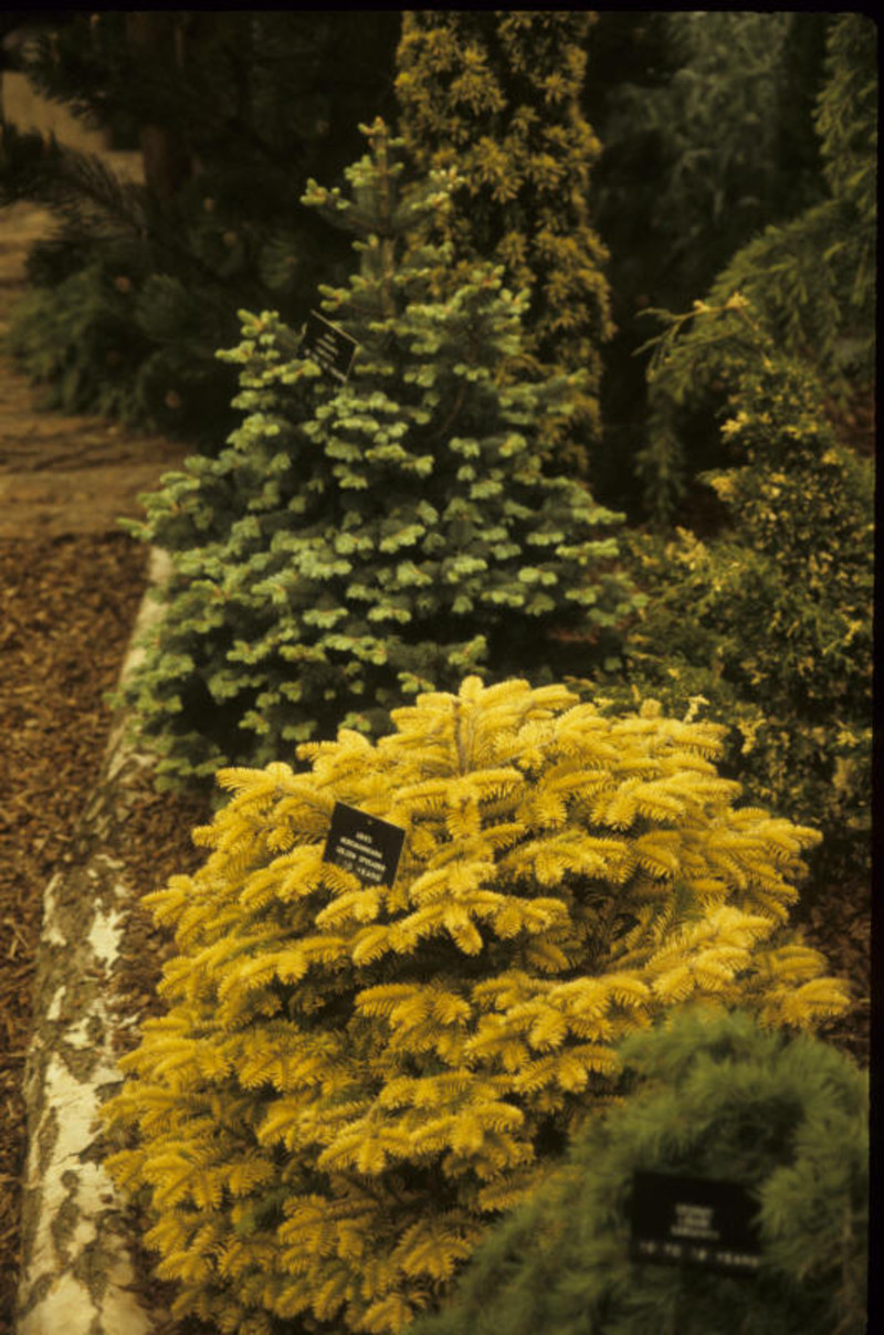 Abies nordmanniana 'Golden Spreader'