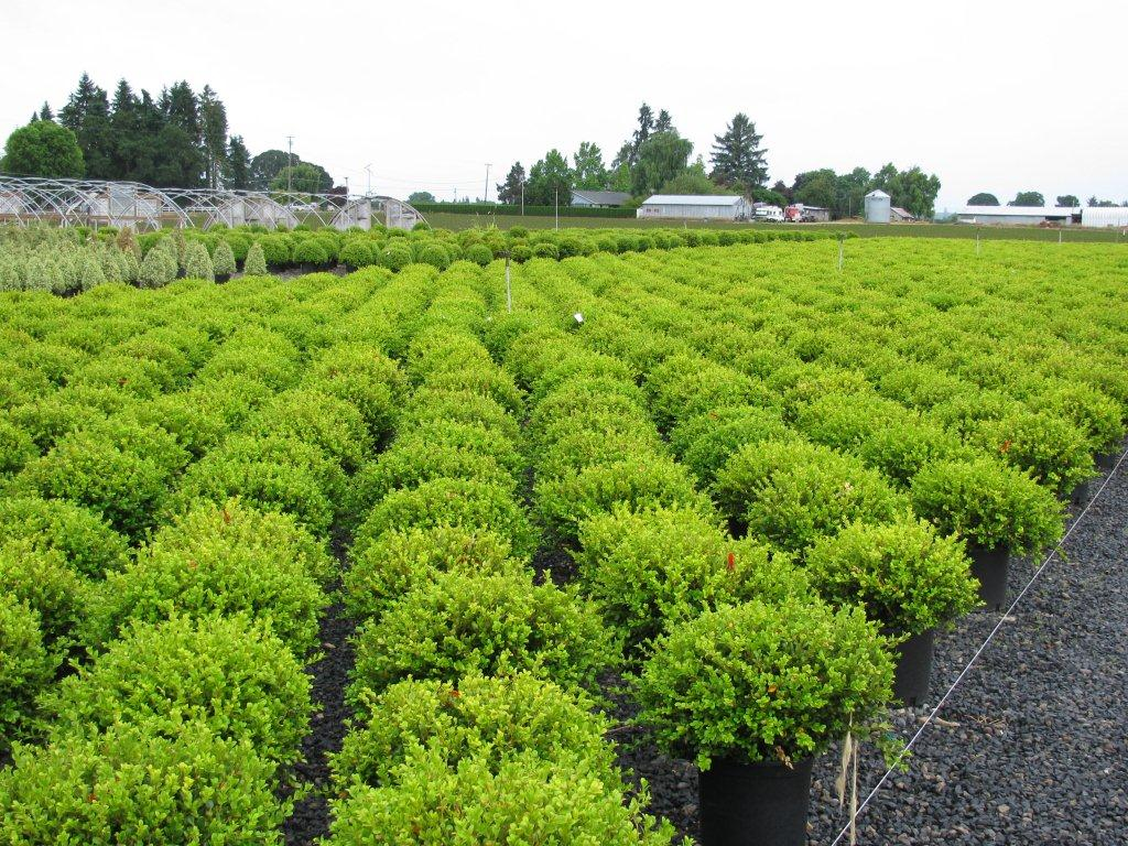 Buxus microphylla 'Wintergreen'