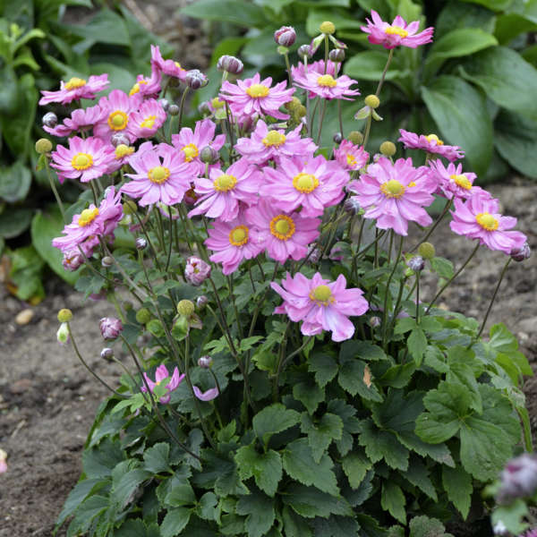 Anemone x 'Curtain Call Pink' PP30739